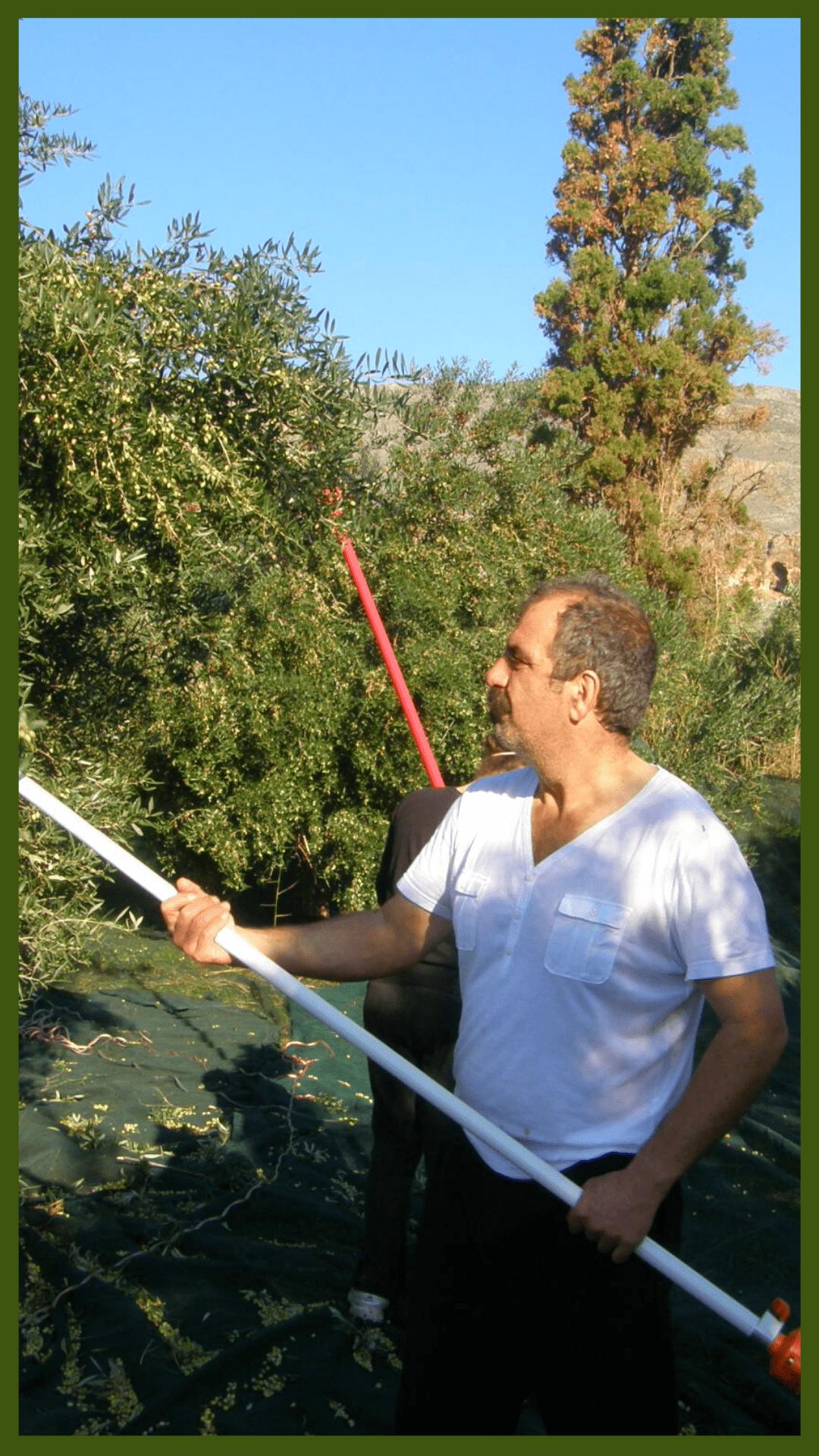 Olive Oil Harvest in Crete