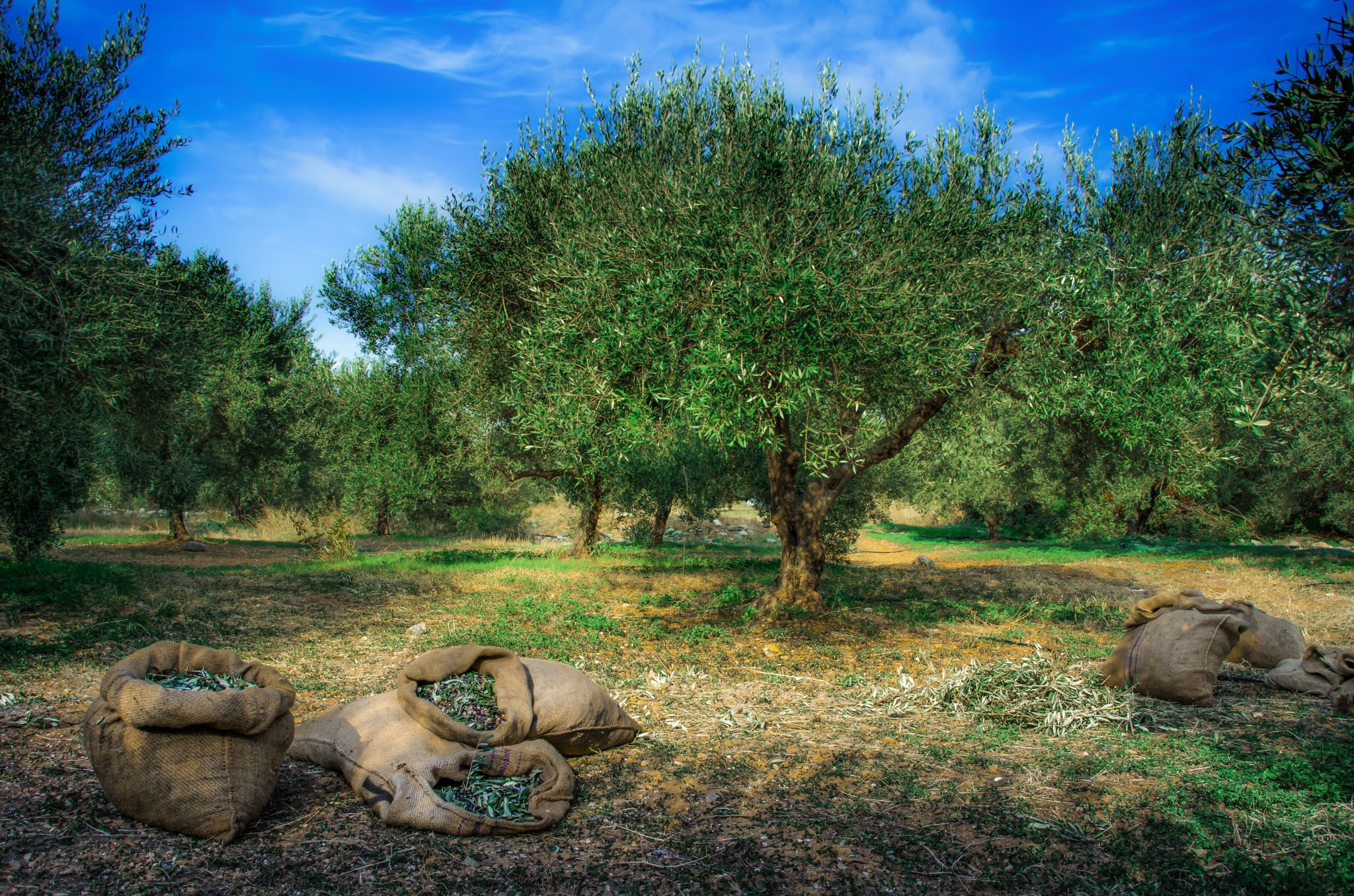 Olive groves Crete